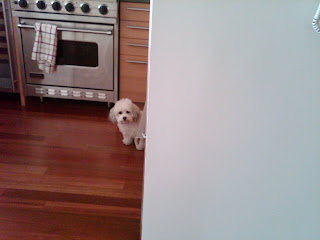 Maltipoo playing peek-a-boo! Little west st, nyc