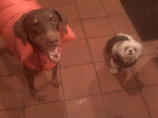 Doberman + Maltzu arrive home happy after a nice walk, chelsea, nyc