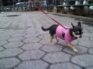 Chihuahua on the move in the east village.