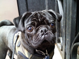 Pug waiting at the gate of his east village home.