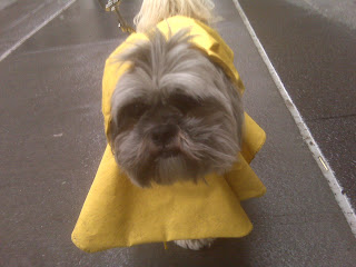 lhasa apso & shih tzu mix prepared for a rainy day in his yellow raincoat, wall st, nyc