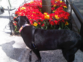 Black Lab stopping to smell the flowers