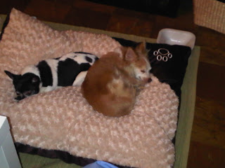 Chihuahuas napping on their new bed, Chelsea