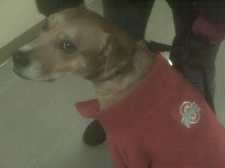 Rodeshian dog wearing Ohio state sweater, Gramercy Park, NYC