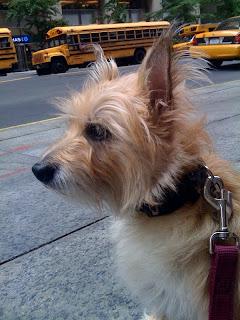 Cairn terrier, wall street
