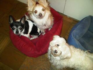 Chihuahua & Maltese cuddling, Chelsea