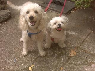 Poodle + Maltzu friends, nyc