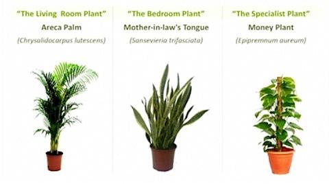 Plantas en el dormitorio plantas en la habitacion es for Planta del dinero feng shui