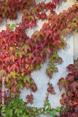 The Virginia Creeper adorn itself in a flamboyant coat