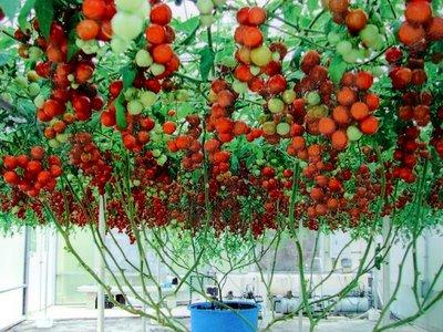 Buah tomato masak ranum