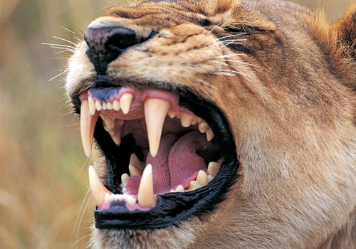Related Keywords & Suggestions for lion teeth size