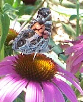 painted lady butterfly on echinacea