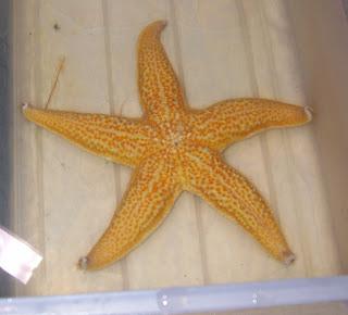 The Echinoblog: The Basics: How to Tell Sea Stars ...