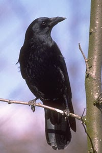 Teacher Denine's ESL Notes: Ravens and crows and jays, oh my!