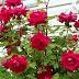 rahsia Dan maksud warns bunga ros