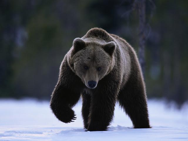 Resultado de imagem para urso caracteristicas