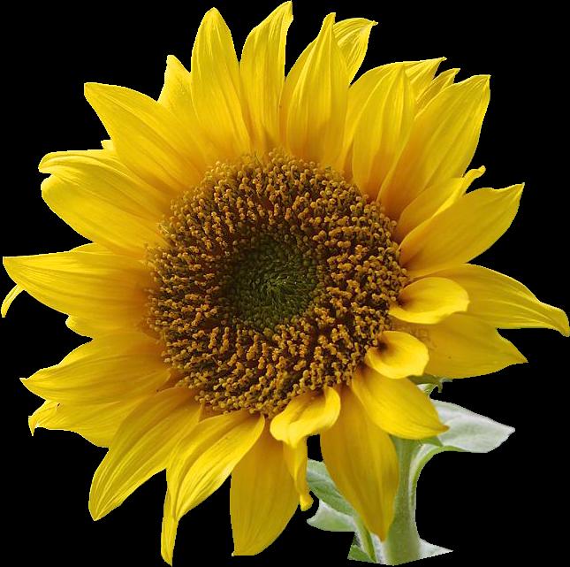 Free Sunflower graphics png .jpg