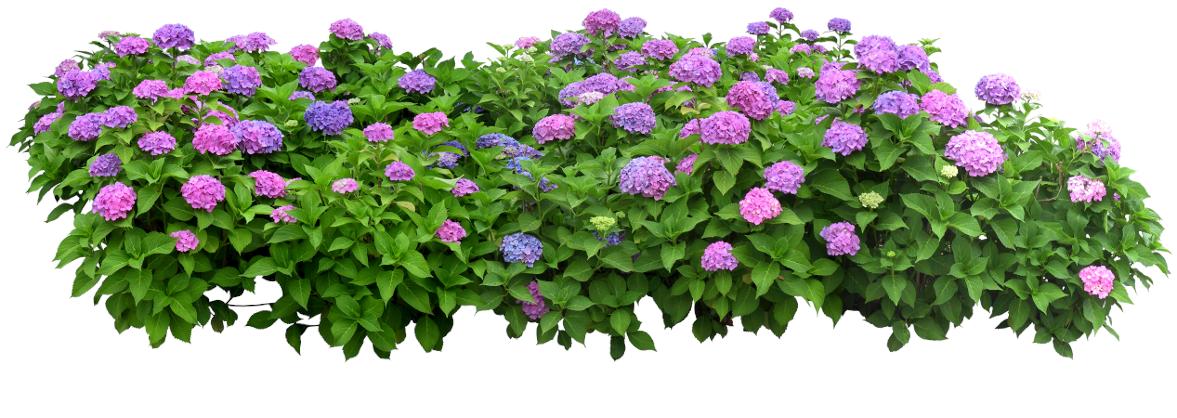 more flower furukawa plants