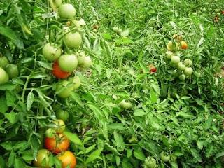 Mes légumes directement achetés chez le maraicher de Cergy. 1