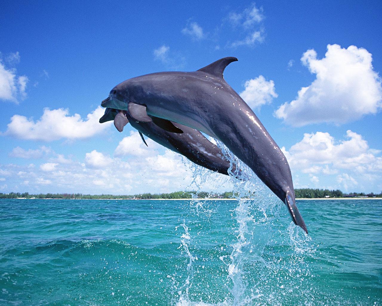 Dolphin Dolphin Dolphin Dolphin