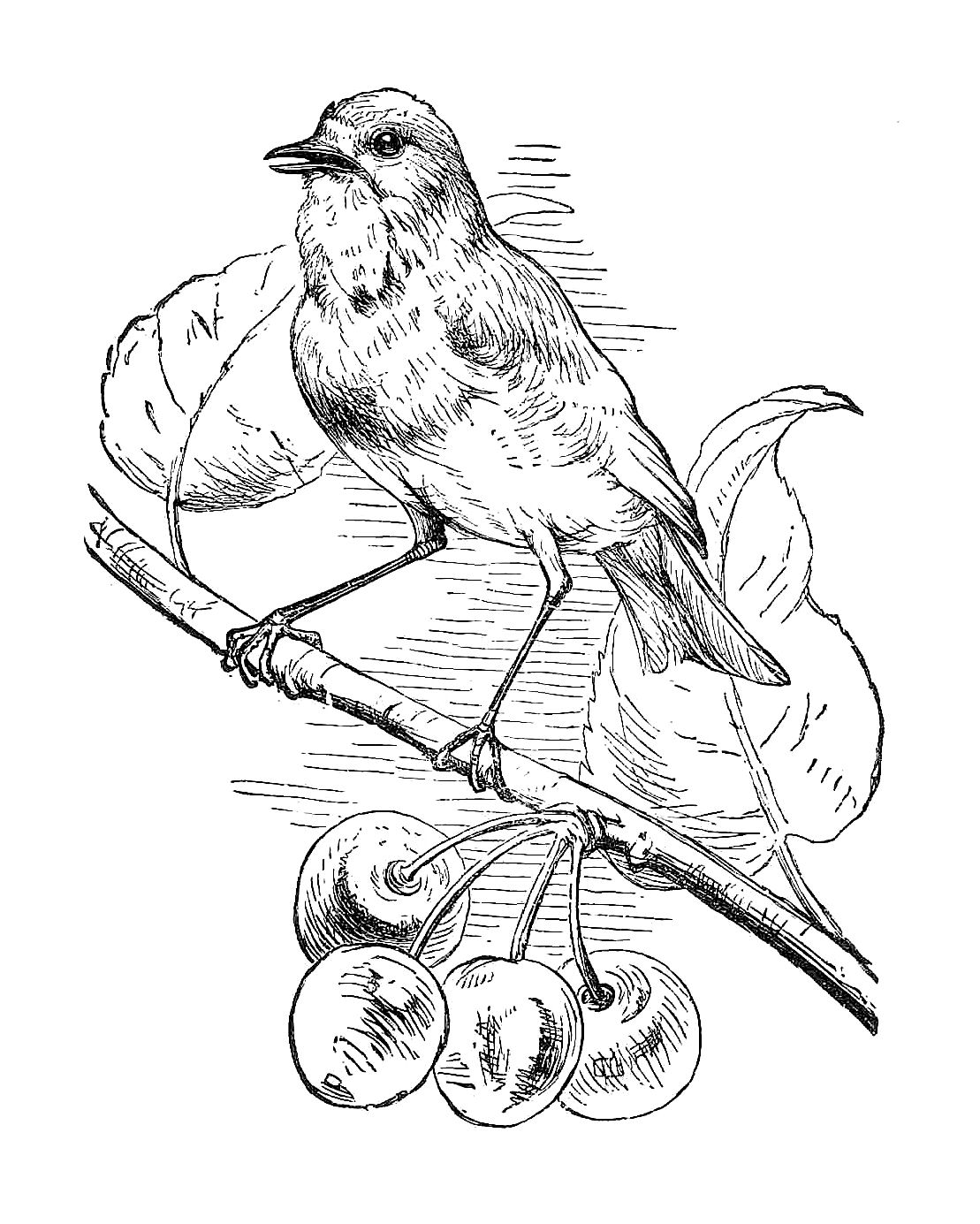 Clipart Of Birds Black And White: Antique Images: Free Black And White Illustration: Bird