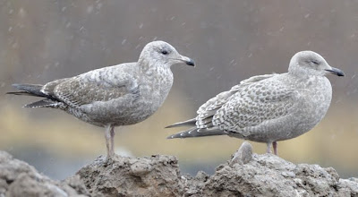 Cannundrums: Thayer's Gull |Thayers Gull
