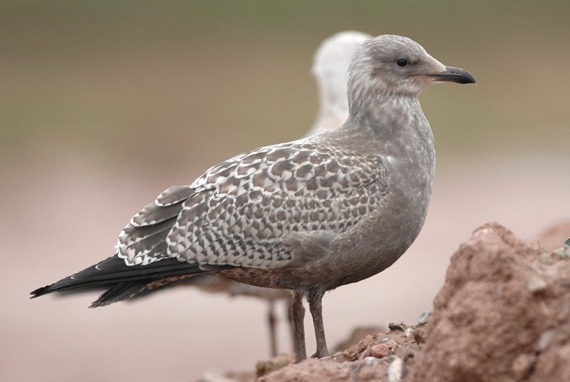 Cornwall birds: juvenile Herring Gull in Falmouth harbour ...