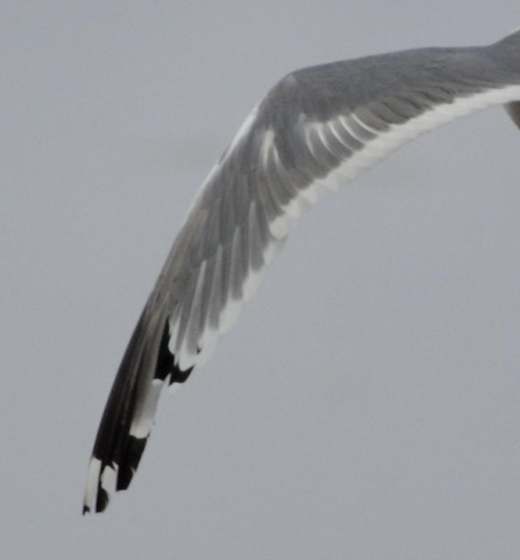 Larusology: Adult Vega Gull in Sault Ste.Marie,ON
