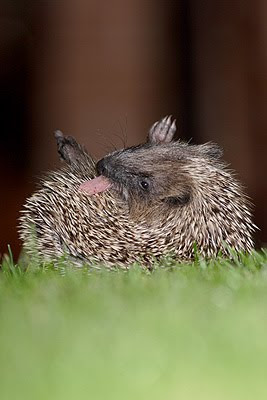 Join why do hedgehogs lick themselves