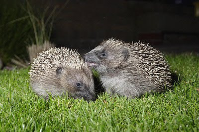 There why do hedgehogs lick themselves