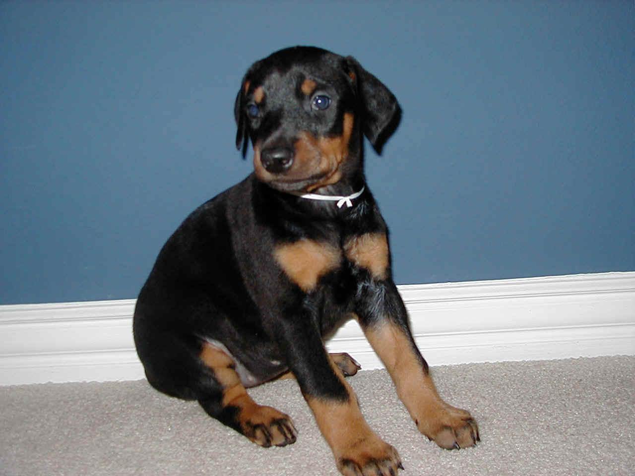 Doberman Pinscher Best Dog Top Dog Directory