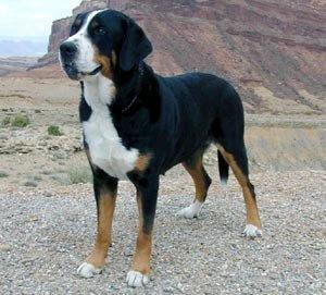 DOGS AND CATS BREED: Grosser Schweizer Sennenhund GREAT ...
