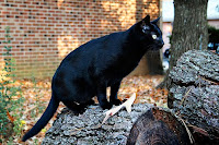 bombay cat of the Asian cat group