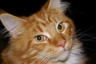 Red and White Maine Coon cat