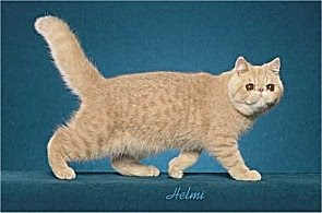 cream spotted tabby cat