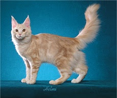 cream classic tabby cat