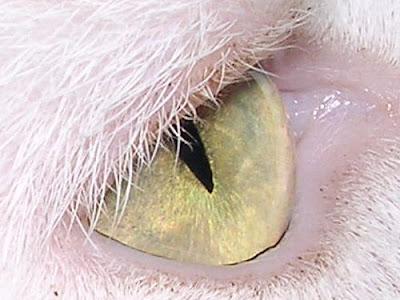 cat eye showing slit aperture