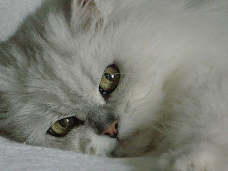silver traditional Persian cat