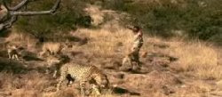 cheetah man and cheetahs