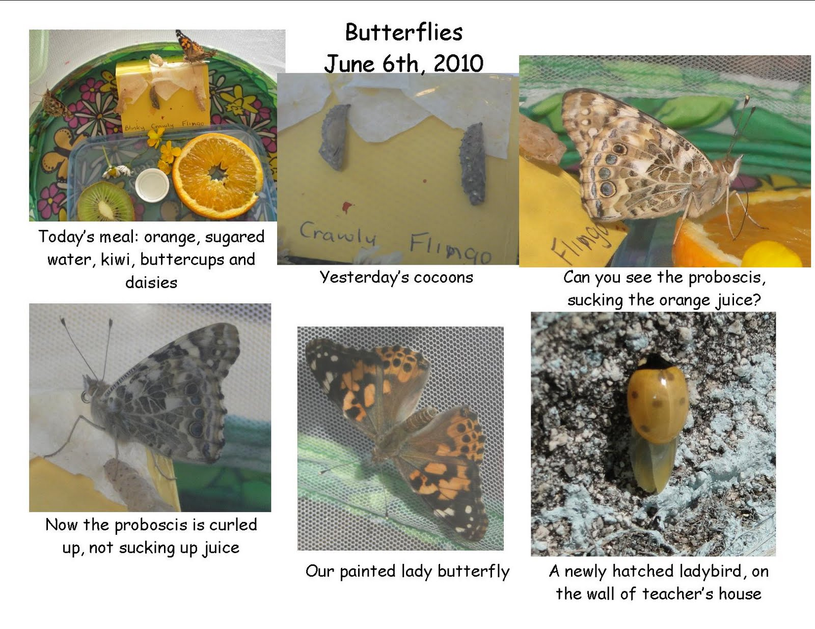 Science Projects Painted Lady Caterpillars