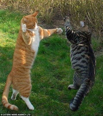 Photo Unique Amazing Weird Foto Gambar Lucu Ajaib Kucing Tarung Ala Ninja Dahsyat Titisan Lion Maru Tiger Joe