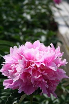 Fiori Simili Alle Rose Nome.Bouquet Da Sposa Cercasi Le Peonie Eleganti E Preziose