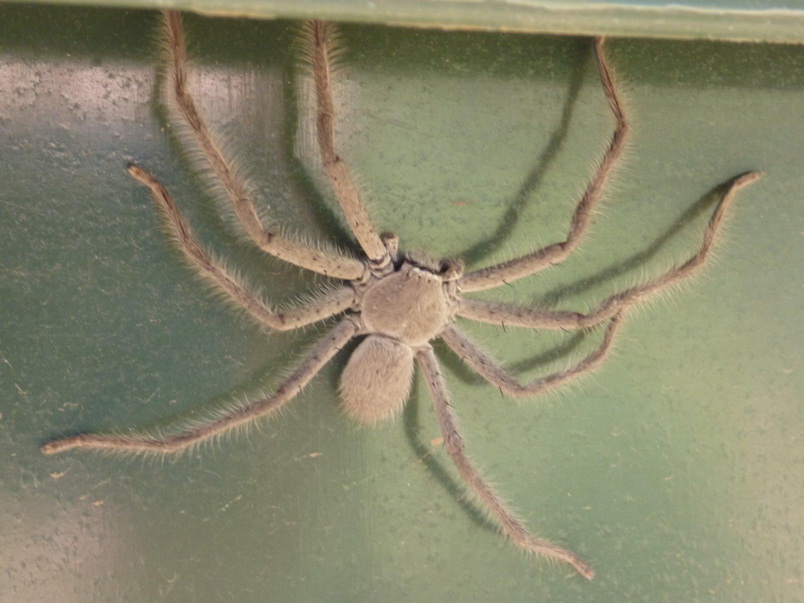 The Homeschool Den Huntsman Spiders
