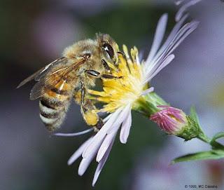 Image result for lebah hisap madu bunga