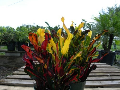 Croton Curly Colorful Leaves Quot Mammey Quot Great House Plant