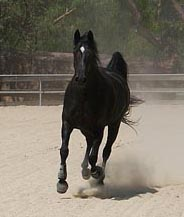 Royal ~ The Black Beauty in our Barn