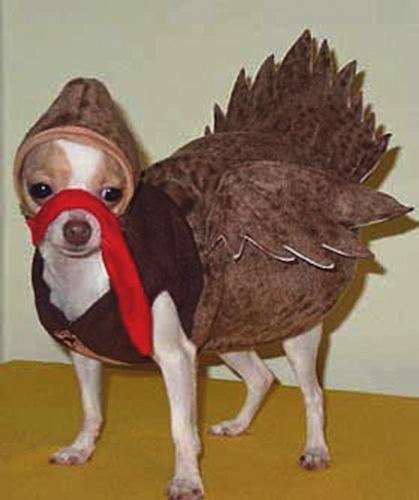 The Dapper Chihuahua: Chihuahua Costumes