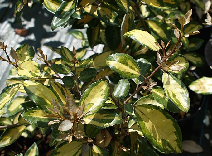 Hortus Italicus Elaeagnus x ebbingei Eleador