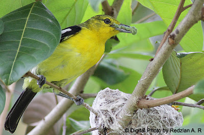 Male Common Iora with food
