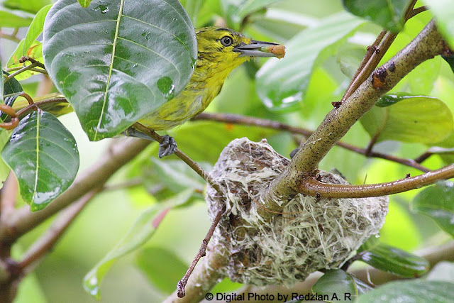 Common Iora Feeding after the rain